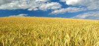 Un mundo de maíz