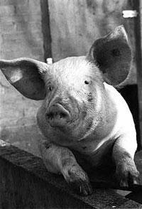 FORUM Classic swine fever in Spain: