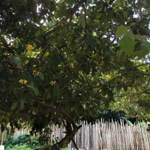 Experimento Beer 4 - Murici Tree, Maranhão state, Brazil