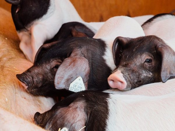 Piglet or bacon? Words and images make a difference