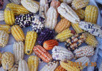 Opposing Transgenic Foods in Bolivia