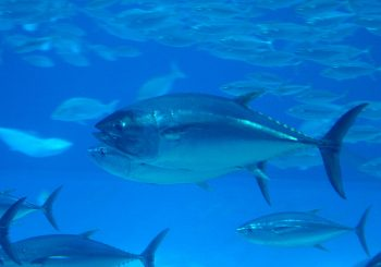 Alarming increase in the new ICCAT quotas for tuna fishing