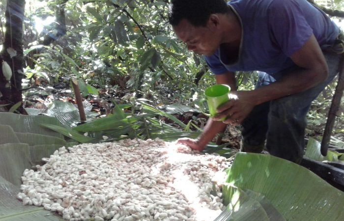 Agroecology and Cabruca Cacao in the Forests of Bahia