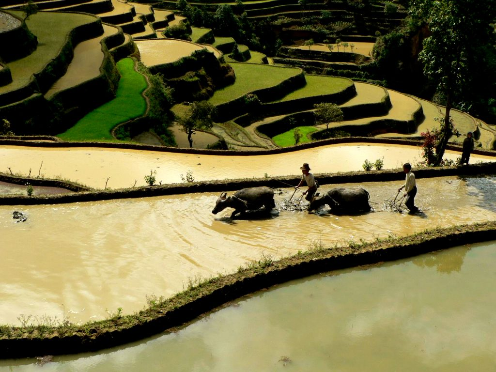 fao-giahs-china-rice-fields-agriculture
