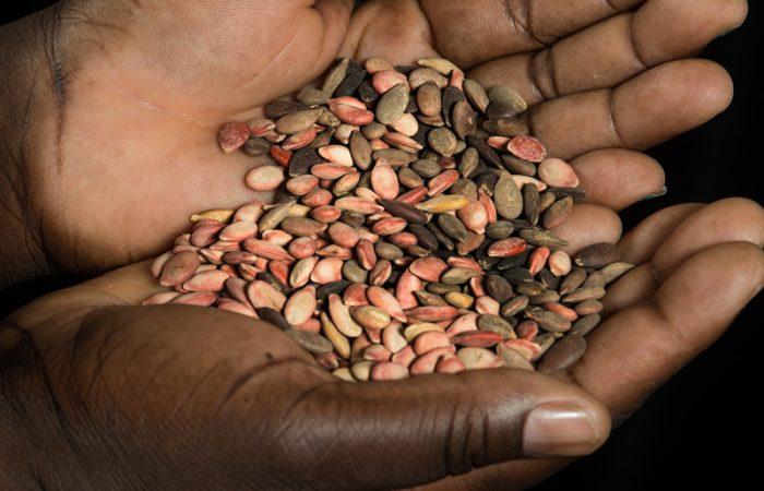 Saatgut und GVOs
