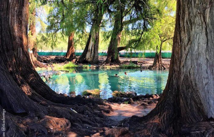 Ahuehuete: Árbol Nacional de México