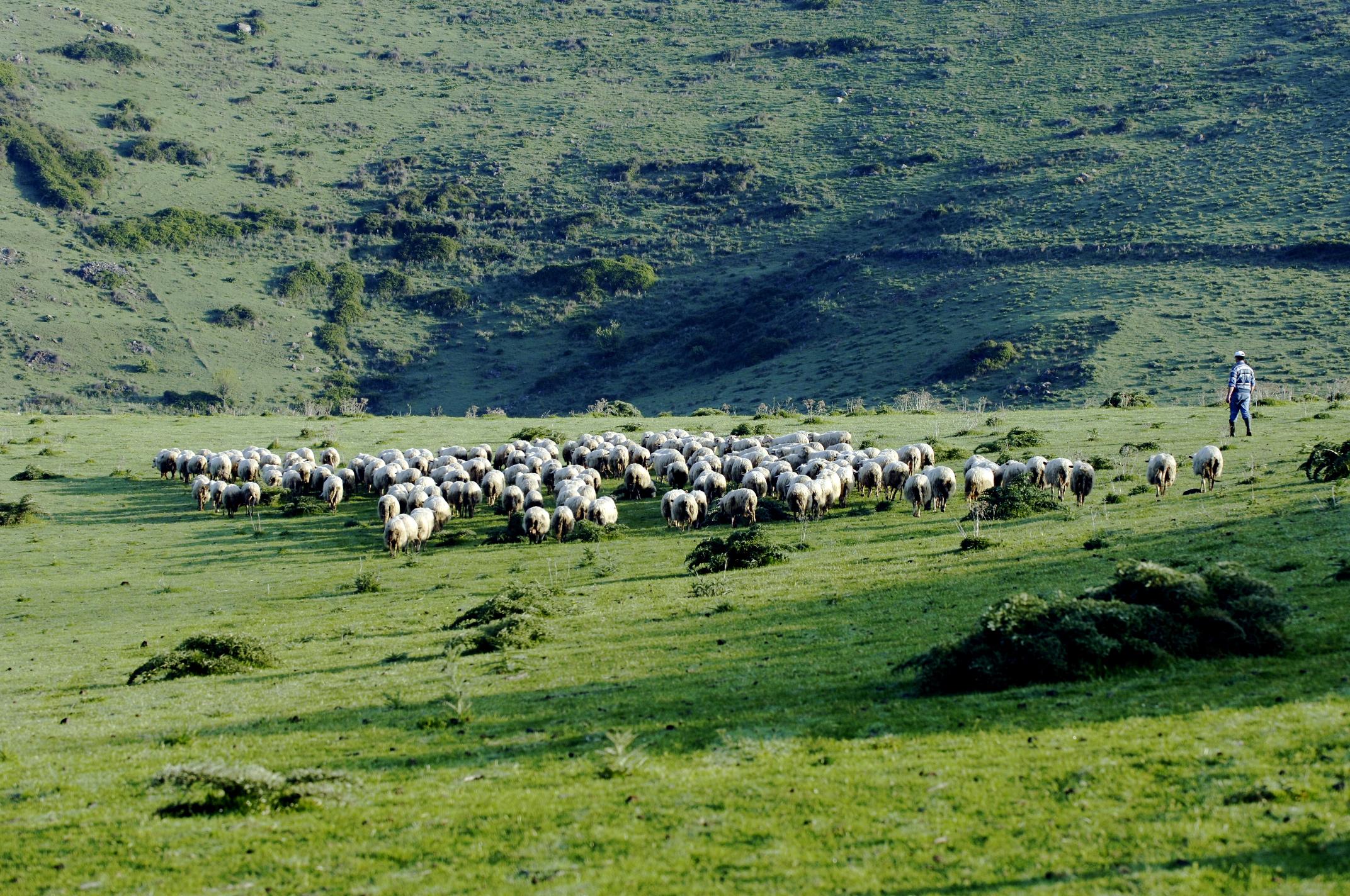 shepherd-with-flock-of -sheep-in-sardinia
