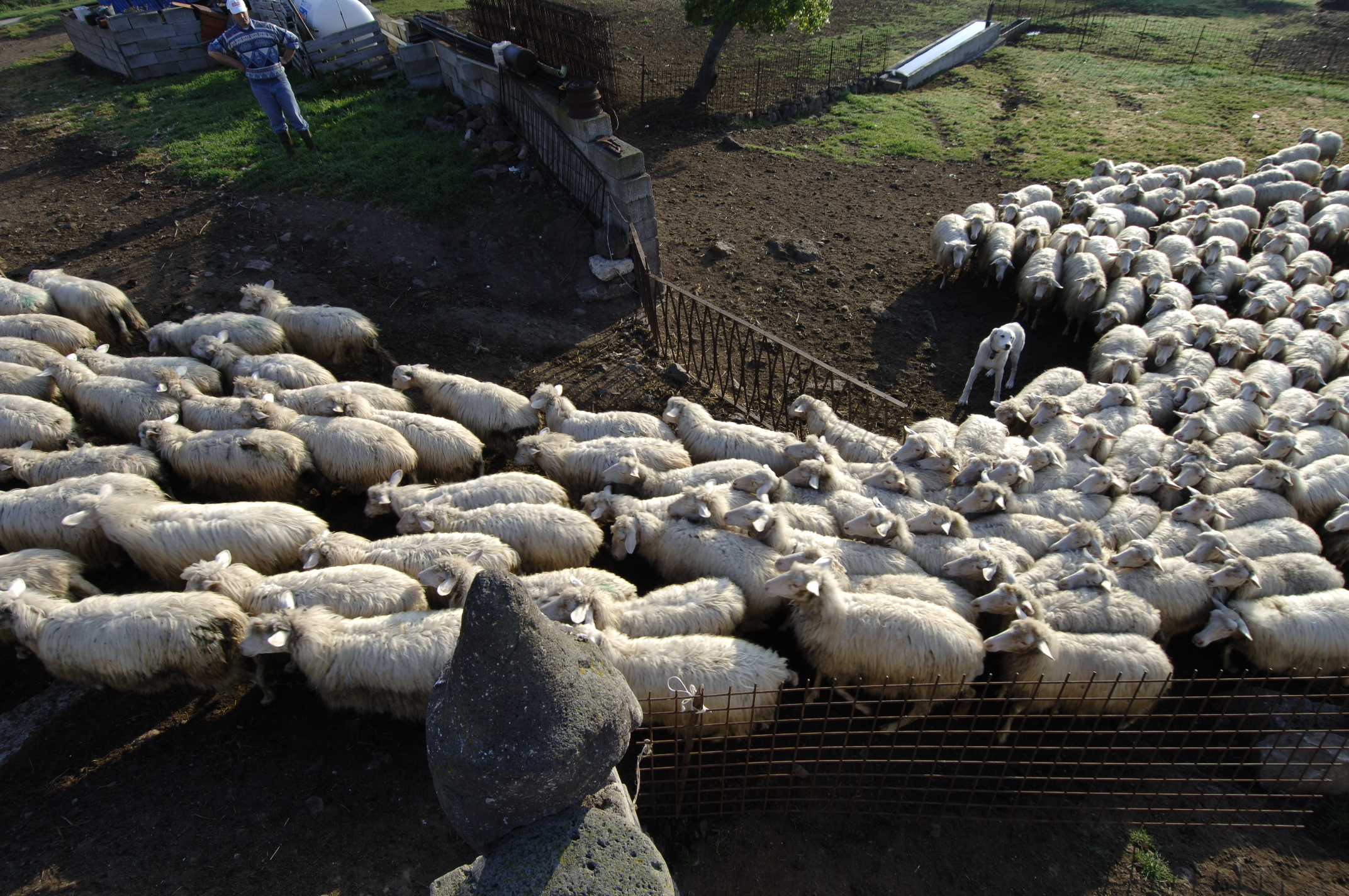 sheep in sardinia