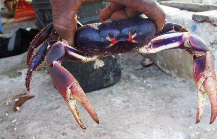 """BLACK CRAB DEH DON""* The Old Providence Sweet Black Crab"