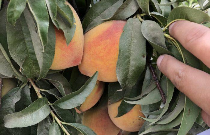 Elberta Peaches and the Masumoto Family Farm