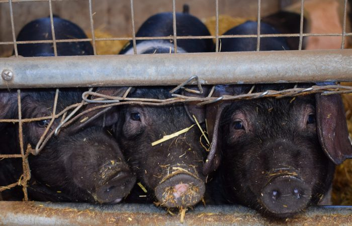 Neither good, nor clean nor fair: No to pig mega-factories in Argentina