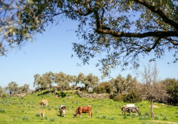 Olive Groves, Ancient Guardians of the Mediterranean