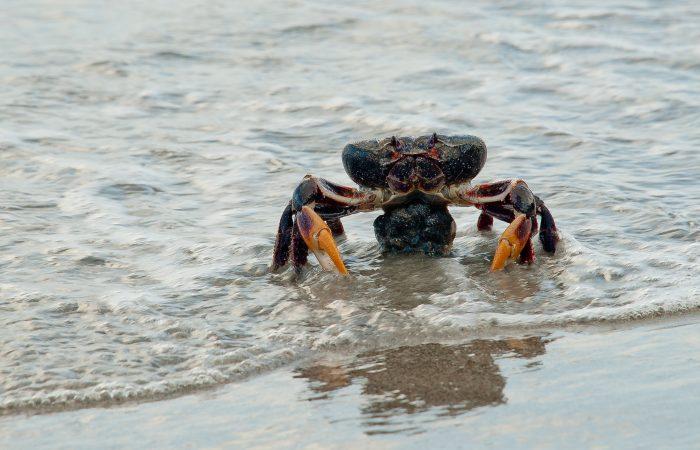 From Colombia: Providencia black crab Slow Food Presidium