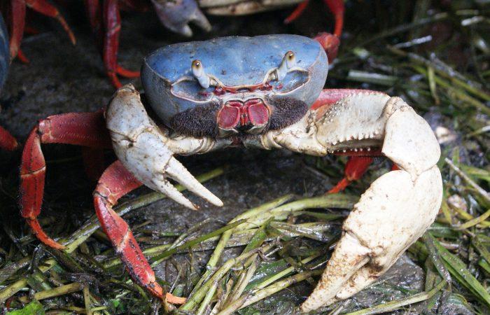From Ecuador: Esmeraldas blue crab Slow Food Presidium