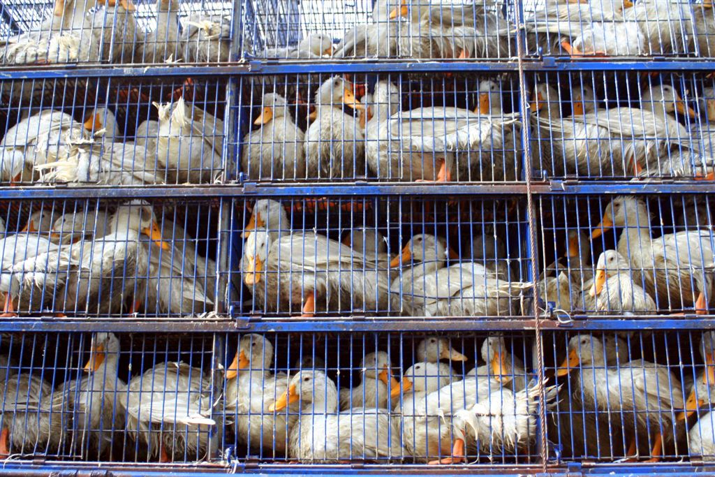 live animal transport