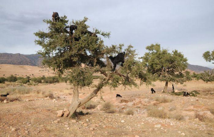 L'huile d'argan alimentaire: délice méconnu, dans un écosystème en danger