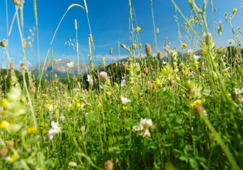 To Make Good, Healthy Cheese you need Natural, Diverse Meadows